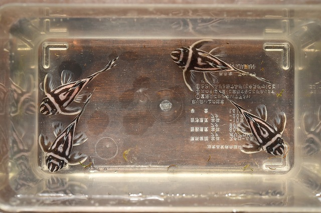 DSC_6472ライン抜け無し 5.5cm±.jpg
