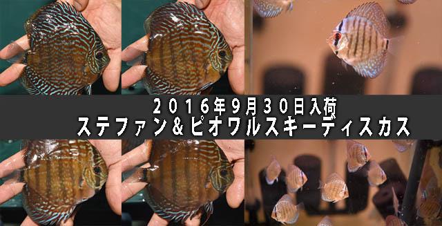 2016年9月30日入荷ステファン&ピオワルスキーディスカス640のコピー.jpg