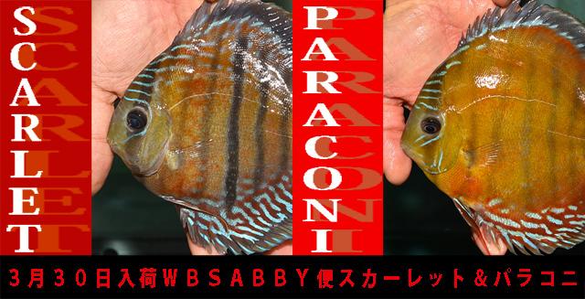 2017年3月30日WBSABBY入荷スカーレット&パラコニ640.jpg