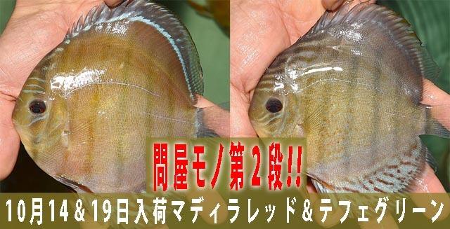 2018年10月14&19日入荷問屋モノマディラ・テフェ640.jpg