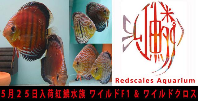 5月25日入荷紅鱗水族 ワイルドF1 & ワイルドクロス640.jpg