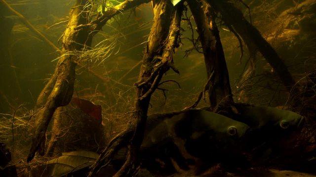 Velvet Cichlid  Amazonia  Underwater Shot.jpg