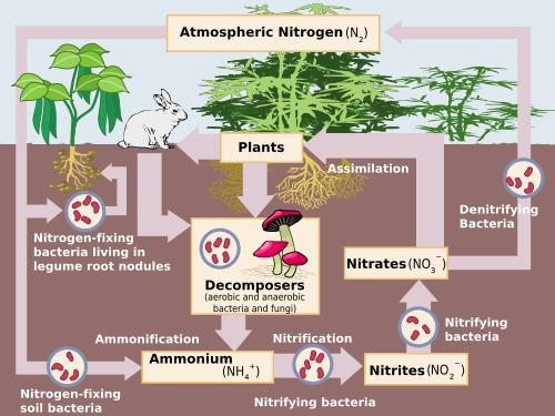 nitrogen_cycle.jpg